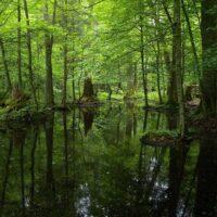 جنگل بیالوزا